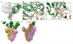 Učinok LY-CoV555 - naviaže sa na spike protein koronavírusu  a znemožní naviazanie vírusu na ACE2 receptor.