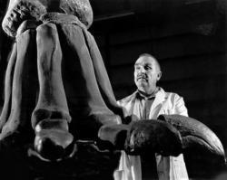 """James A. Jensen ve své pracovně s rekonstruovanou spodní částí přední končetiny domnělého giganta druhu """"Ultrasauros"""" macintoshi. Podle některých odhadů měl tento brachiosauridní sauropod vážít neuvěřitelných 136 až 180 tun, což by z něj s výrazným odstupem činilo největšího suchozemského živočicha všech dob. Kredit: James A. Jensen; Wikipedie (volné dílo)"""