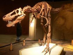 Paleontologové předpokládají, že mezi dospělci a mláďaty tyranosaurů se v jimi obývaných ekosystémech ustanovilo rozdělení potravních nik. Zatímco masivní plně dorostlí jedinci lovili větší kachnozobé a rohaté dinosaury, subadultní tyranosauři využívali svoji rychlost k lovu menších a hbitějších dinosaurů i jiných obratlovců. Kredit: stu_spivack – t-rex, Wikipedie (CC BY-SA 2.0)