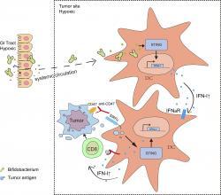 Grafický abstrakt. Na levé straně obrázku je svisle několik buněk. Aby bylo zřejmé, že jde o buňky střeva, jsou na vnitřní straně schematicky naznačeny výchlipky. Zeleně jsou nakresleny dělící se  bifidobakterie ve tvaru ypsilon. Jejich snadný prostup přes imunitní barieru má vyjadřovat svislá tečkovaná čára. Přítomnost bakterií v nádoru aktivuje signalizační dráhu STING a popouzí geny odpovědné za produkci interferonu k vyššímu výkonu. Spolu s prezentovaným tumorovým antigenem (větší modrá kolečka) to buňky zabíječe (na obrázku označeny jako CD8, což je jejich charakteristický antigen) přiměje konat svou práci – začnou napadat buňky tumoru. Děje se tak díky předem připravené léčebné protilátce (znázorněna červeně), která zakryla ochranný protein CD47, čímž zvrhlým buňkám zrušila jejich privilegium hlásající, že náleží ke kastě nedotknutelných. (Kredit: UTSW).