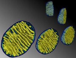 """Uspořádání vnitřní membrány mitochondrie se spíše než """"chladičem"""", začíná jevit jako """"kožich"""" umožňující rychle zvýšit a udržet teplotu těsně pod padesáti stupni Celsia na co největší reakční ploše. Foto: Terrence G. Frey, State University San Diego"""