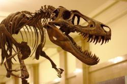 """Jane je zatím tou nejlepší ukázkou vzezření mladých tyranosaurů. Tento téměř tunu vážící """"teenager"""" vykazoval proporcionálně velmi štíhlé a dlouhé nohy a relativně štíhlou lebku. Mnohem slabší sílu čelistního stisku oproti dospělým tito mladí jedinci vyvažovali podstatně vyšší rychlostí pohybu. Kredit: Sage Ross, Wikipedie (CC BY-SA 3.0)"""