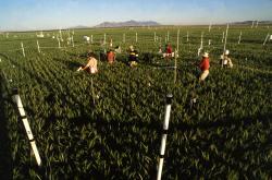 Brent se svým entomologikým týmem na polnostech Arizony při práci pro United States Department of Agriculture-Agricultural Research Service.