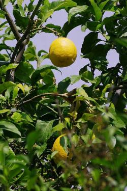 Toť ony listy a plody. Kredit: Bgabel, Wikimedia Commons. Licence CC 3.0.