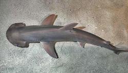 Kladivoun tiburo (Sphyrna tiburo) Autor snímku: D Ross Robertson, volné dílo.