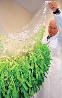 Kořeny jsou pevně přichyceny k povrchu membrány (Kredit: www.mebiol.co.jp)