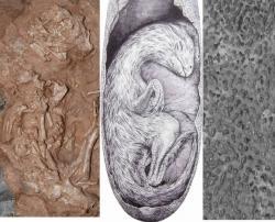 Ve volně přístupném článku časopisu Nature jsou ke shlédnutí fotografie nalezené kostry. Umělcova představa přibližné podoby embrya nově popsaného teropodního dinosaura. Na svůj příchod na svět čekal tento oviraptorosaurve vajíčku o téměř půlmetrové délce. Kresba je z dílny  Vladimíra Rimbaly (i jeho další kresby stojí za shlédnutí).  Zachovala se i  struktura povrchu skořápky oviraptora. Tyto a další obrázky nálezu v e vysokém rozlišení  ZDE: Hanyong Pu, et.al., Nature Communications 2017.
