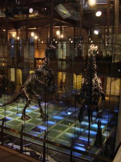 Proslulé kosterní exempláře druhu Iguanodon bernissartensis v Královském muzeu v Bruselu. Objev desítek koster v uhelném dole u belgického Bernissartu v roce 1878 se stal jedním z největších paleontologických objevů 19. století. Kredit: Vlastní snímek autora (10. 2. 2009); Wikipedie (CC BY-SA 4.0)