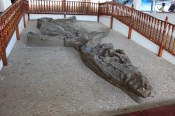 Snímek fosilie jihoamerického druhu K. boyacensis, popsaného roku 1992 z území Kolumbie. Exemplář je umístěn v malém muzeu jménem El Fósil ve městě Villa de Leyva. Kredit: Edward M. Johnson, Wikipedie (CC BY-SA 2.0)