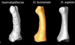 O tom, že jde o nový lidský druh, mají svědčit anatomické zvláštnosti kloubních hlavic. Na snímku je porovnání prstních článků nohy Homo luzonensis, hominida Australopithecus a člověka moudrého.  Foto: YouTube