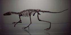 Tělesná stavba lagosuchova skeletu dokládá, že zejména na kostře končetin disponoval mnoha anatomickými znaky, které sdílel již s vývojově primitivními dinosaury. Jednalo se o drobného dravého tvora o hmotnosti holuba, schopného poměrně rychlého pohybu. Kredit: Ogmios; Wikipedia (CC BY-SA 3.0)