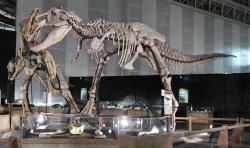 Rekonstrukce kostry čučchengtyrana, útočícího na kachnozobého šantungosaura. Tento čínský tyranosaurid se vyskytoval zhruba o tři miliony let dříve a geograficky mírně východněji než jeho blízký příbuzný Tarbosaurus bataar. Mohli se poslední čučchengtyranové a nejstarší tarbosauři přesto občas setkávat? Kredit: Laika ac from USA, výstava Dino Kingdom 2012, Wikipedie (CC BY-SA 2.0)