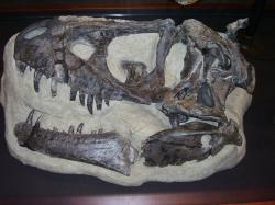 Téměř kompletní lebka holotypuD. horneri(MOR 590) v expozici Museum of the Rockies v Bozemanu (Montana). Teprve v letošním roce byl tento exemplář (spolu s několika dalšími) popsán jako nový samostatný druh roduDaspletosaurus. Před 75 miliony let obýval oblasti dnešní severní Montany. Kredit: Vlastní snímek (V. Socha),Wikipedie(CC BY-SA 4.0)