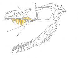Lebka malého teropodního dinosaura druhu Sinornithosaurus millenii měla dentici a čelisti poněkud podobné čelistem jedovatých hadů. Někteří paleontologové se proto domnívají, že tento teropod mohl být rovněž vybaven jedem. Přesvědčivý důkaz ale zatím chybí. Kredit: Sebastian Josephus Odenbacker; Wikipedie (CC BY-SA 4.0)