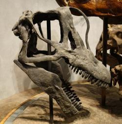 Lebka brachiosaura, která byla oproti ohromnému tělu relativně malá. Právě proto se dříve někteří vědci domnívali, že tito obří sauropodi museli ve velkém polykat trávicí kameny (gastrolity), které pomáhaly s mechanickým zpracováním potravy v žaludku nebo jiných částech trávicí soustavy. Novější výzkumy však ukazují, že gastrolitů nejspíš nebylo třeba. Brachiosauři dokázali bez větších obtíží pozřít a metabolicky zpracovat asi 200 až 400 kilogramů vegetace denně. Na snímku rekonstrukce slavného exempláře lebky z Felchova lomu, její délka činí 81 cm. Kredit: Etemenanki3; Wikipedie (CC BY-SA 4.0)