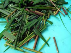 Bez citronové trávy asijští kuchaři vařit neumí. Kredit: Jenni Konrad, lemongrass CC BY-NC 2.0