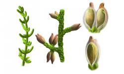 Montsechia s jednotlivými krytými semeny se podobá dnešním růžkatcům.Ilustroval: Oscar Sanisidro