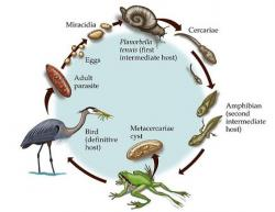 Životní cyklus Ribeiroi ondatrae. Kredit: Science Art http://www.science-art.com/image/?id=3561&search=1