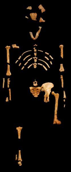 Ostatky nejznámějšího a vzorového zástupce australopitéků Lucy (Australopithecus afarensis). Museum national d'histoire naturelle.