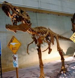 Lythronax argestes je s geologickým stářím rovných 80 milionů let dosud nejranějším známým tyranosauridem. Žil na území dnešního Utahu zhruba ve stejné době, jako jeho japonští příbuzní. Kredit: Kumiko, Wikipedie (CC BY-SA 2.0)