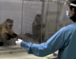 Opice malpy kapucínské ukazují smysl pro spravedlnost: Dokud opice, z našeho pohledu vlevo, nevěděla, že může mít větší odměnu za stejnou práci, tak se spokojila s okurkou. Jakmile ale zjistila, že kolegyně za stejný úkol dostane hroznové víno, tak ji to přišlo nespravedlivé a odmítla za těchto podmínek dále spolupracovat.