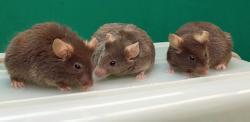 """Tři myší """"samečci"""" vyrobení v Honolulu, geny chromozomu Y zcela postrádají. Navzdory tomu jim to na dlouhověkosti a kráse neubralo. Dvěma myšákům je už něco málo přes dva roky. Nejmladšímu (na obrázku uprostřed) je jeden rok a deset měsíců. Z myšího pohledu na věc to jsou kmeti. Geneticky nejsou ani XY, ani XX, ale X0 (X nula). Autor fota: Yasuhiro Yamauchi"""