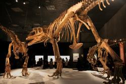 Rekonstruované kostry tří jedinců druhu Mapusaurus roseae v různých věkových stadiích. Je možné, že tito obří karcharodontosauridní teropodi žili v menších smečkách, případná kooperace jejích členů při lovu ale není prokázaná. Největší jedinci dosahovali délky zhruba v rozmezí 10 až 13 metrů a hmotnosti nejméně 3 až 6 tun. Představovali tedy dravce ve velikostní kategorii proslulého tyranosaura. Kredit: Kabacchi/FunkMonk; Wikipedie (CC BY 2.0)