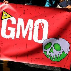 GMO! Kredit: : Rosalee Yagihara / Wikimedia Commons.