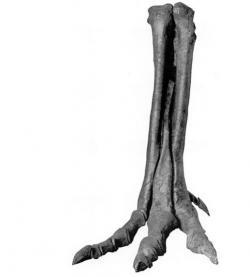 Fosilie distální části nohy druhu Alectrosaurus olseni. Jde o exemplář s katalogovým označením AMNH 6368, jedna z prvních objevených fosilií tohoto druhu. Kredit: Wikipedie (volné dílo)