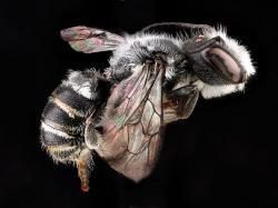 Jedna ze středně velkých návštěvnic květů, včela zvaná čaloucnice (Megachile campanulae). Jejich návštěvy z pohledu opylení, neměly pro rostliny valný význam.  Za prospěšností čmeláků značně zaostávaly. Kredit: S laskavým svolením USGS Native Bee Inventory and Monitoring Laboratory