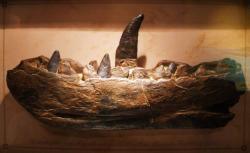 Odlitek spodní čelisti megalosaura, prvního formálně popsaného neptačího druhohorního dinosaura. Když jej reverend William Buckland představoval v únoru roku 1824 vědeckému světu, jistě netušil, že o necelá dvě století později budeme znát téměř třináct stovek druhů dalších pravěkých tvorů, jimž dnes říkáme dinosauři. Kredit: Ghedoghedo, Wikipedie (CC BY-SA 3.0)