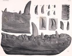 Nákres zubů a fragmentu spodní čelisti megalosaura, objevené roku 1797 ve Stonesfield Slate. Dnes se jedná o exemplář významný nejen z paleontologického, ale v nemenší míře i z historického hlediska. Kredit: J. Erxleben, Wikipedie (volné dílo).