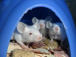 U myší přestat solit, znamená tloustnout. A u lidí?
