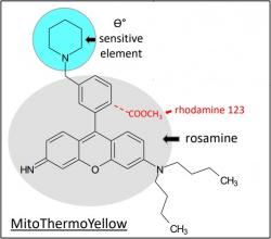 Mito (thermo yellow), N,N-dibutyl-6-imino-9-(3-piperidin-1-ylphenyl)xanthen-3-amine. Technologie pronikající do života mitochondrií zajišťujících nám nejlepší možný výkon a nízkou spotřebu.