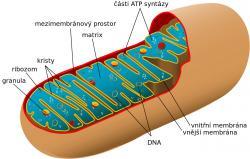 Mitochondrie, nejspíš potomekalphaproteobakteriípříbuzných dnešním rickettsiím. Dnes jsou z nich semiautonomní organely s vlastní DNA a vlastními geny. Kredit: Autorka: Mariana Ruiz, volné dílo.