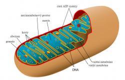 Mitochondrie - potomekalfaproteobakteriípříbuzných dnešním rickettsiím. Dnes jsou z nich semiautonomní organely.