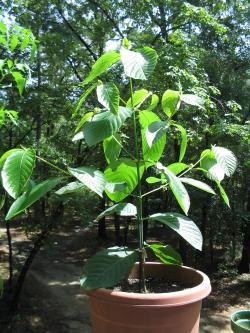 Mladý stromek Mitragyna speciosa. Kredit:  Uomo vitruviano,Wikimedia Commons. CC BY-SA 3.0