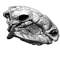 Fosilní lebka nodosaurida druhu Panoplosaurus mirus. Tohoto mohutného obrněného býložravce popsal paleontolog Lawrence Lambe rovněž před sto lety. Kredit: Lambe, L. (1919); Wikipedie (volné dílo)