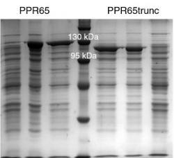 Dva pentatrikopeptidové proteiny  při opravě spočívající v záměně C a U na molekule RNA. Kredit: Bastian Oldenkott, 2019.