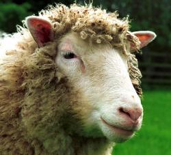Dolly – první klonovaný savec, který kdy byl vytvořen z jediné buňky dospělého jedince. Kredit: University of Edinburgh.
