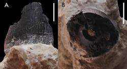 Zub s označením ÚGV PAL348 z (A) labiálního (vnějšího) a (B) apikálního (odshora) pohledu. Měřítko: 10 mm (Madzia a kol., 2018).