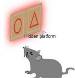 Že myši skutečně vidí v infraspektru dokázal pokus v němž předem vycviřené na pamlsek se po aplikaci nanočástic dokázaly orientovat i když symboly svítily jen v IR spektru. Kredit: Yuqian Ma, et al., 2019.