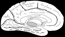 Prvotní zpracování informací probíhá včásti mozku zvané hippokampus. Důležité informace jsou předávány do neokortexu, kde dochází kjejich uspořádávání, propojování a ukládání do dlouhodobé paměti. (Autor obrázku: Henry Vandyke Carter)