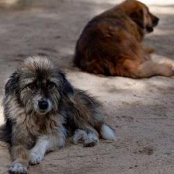 Na vzniku pandemie možná mají zásluhu toulaví psi. Kredit: CC0 Public Domain.