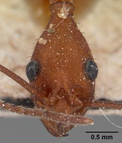 Pohled do tváře mravence Aphaenogaster araneoides, známého pod jménem cikánský mravenec. Kredit: April Nobile www.antweb.org, CC-BY-SA-3.0.