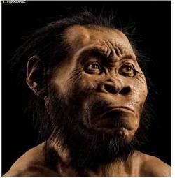 National Geographic (October 2015) zveřejňuje rekonstrukci tváře Homo naledi od Johna Gurche ze studia Trumansburg, N.Y.  (Mark Thiessen/National Geographic via AP, převzato z Physorg.