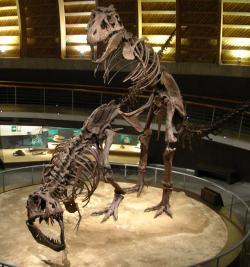 Rekonstruované kostry páru tyranosaurů v kopulační pozici. Neobvyklý exponát lze obdivovat ve španělském Museo del Jurásico de Asturias (paleontologické muzeum v Asturském knížectví na severu Španělska). Kredit: NeGRa, Wikipedie (CC BY-SA 2.5)