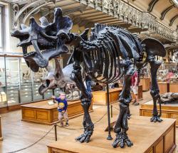 Replika kostry uintatéria, vystavená v pařížském Národním přírodovědném muzeu. Pohled na lebku zvířete dokládá, jak bizarní vzhled musel tento zástupce skupiny Dinocerata zaživa mít. Vědce ohromily jeho fosilie již na začátku 70. let 19. století, kdy byly poprvé objeveny na území amerického státu Wyoming. Kredit: Shadowgate; Wikipedie (CC BY 2.0)