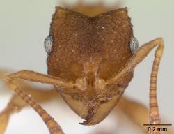 Hlava mravence Mycocepurus smithii.  O těchto mravencích se mnohde stále píše, že jsou asexuální. Je to ale pravda jen částečně. V centru kolonie si ti privilegovaní sexu dopřávají. Kredit:: April Nobile, Wikipedia, CC BY 4.0