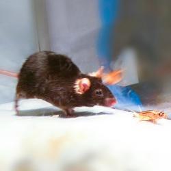 Myš a její kořist. Kredit: Ivan de Araujo.